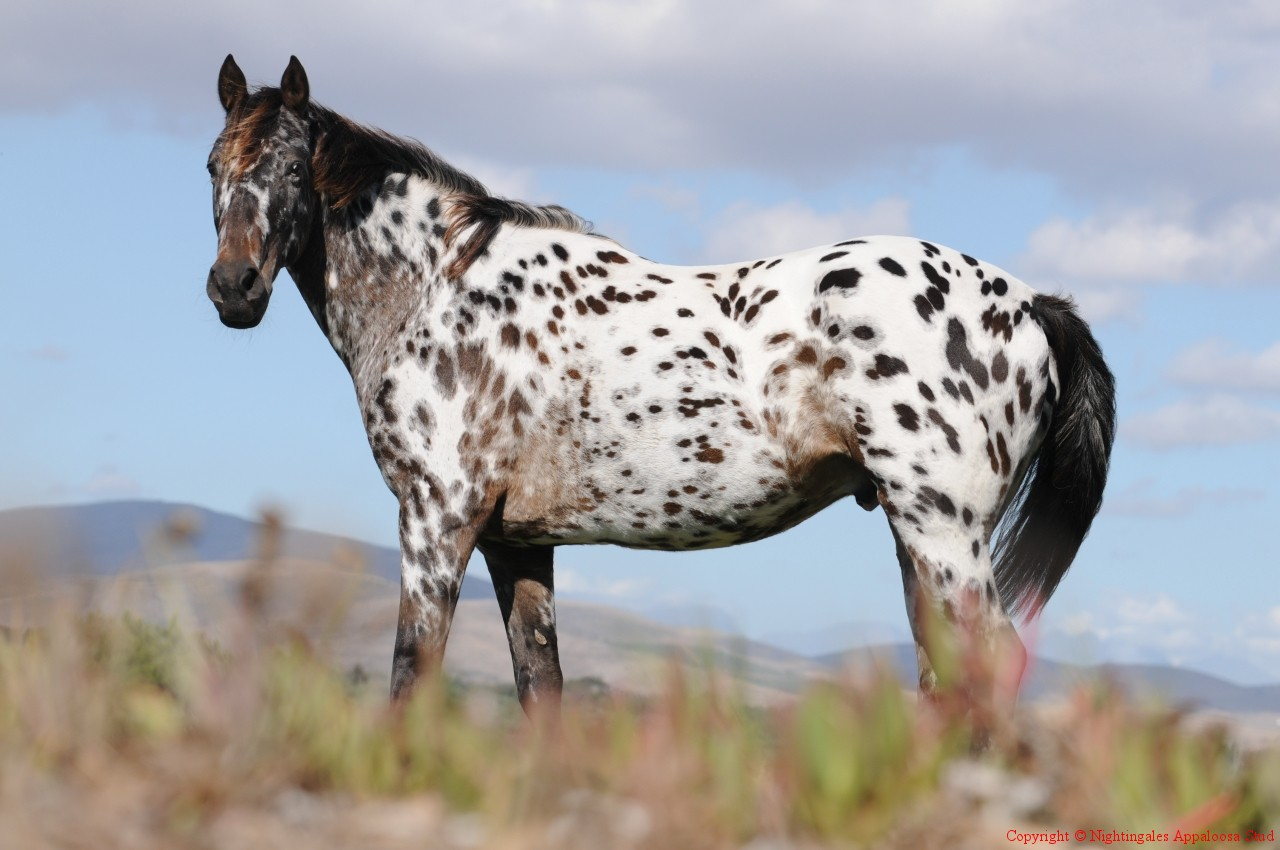 Baby Appaloosa | Car Interior Design